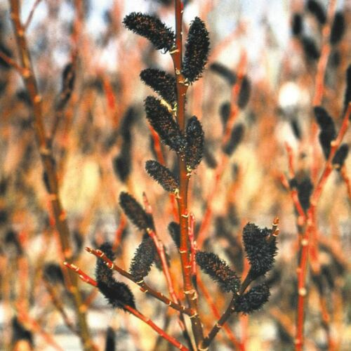 A Great Fall Planter ! Live Rooted Rare Black Pussy Willow Tree 3/' Feet Tall