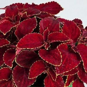 50-Coleus-Seeds-Rainbow-Superfine-Red-Velvet-Flower-Seeds