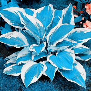 100 PCS Seeds Hosta Flores Fragrant Plants Lily Bonsai Perennial Flowers Rare N