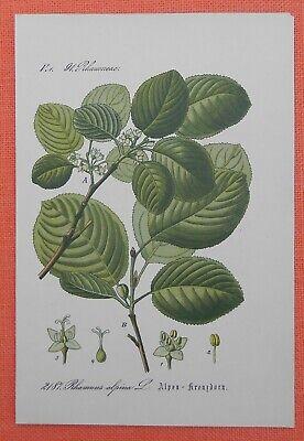 Alpen - Kreuzdorn Rhamnus Alpina Lithographie 1885