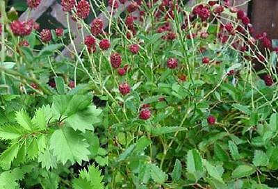 BURNET/ salad burnet 35 seeds herb garden