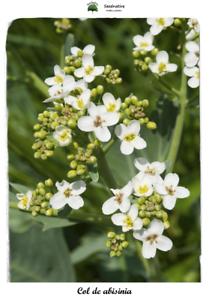 50 semillas Crambe abyssinica Seeds Col de abessinia