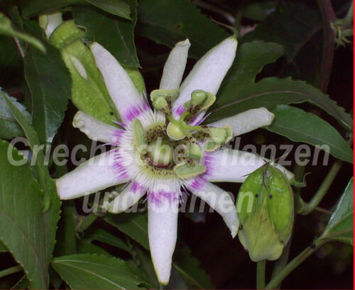 Passiflora Rubra 5 Seeds Red Essbare Fruits Perennial Passion Fruit Fruit