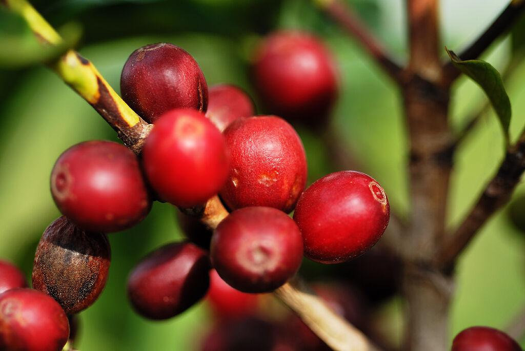 Rohkaffee Brasil Santos 5kg