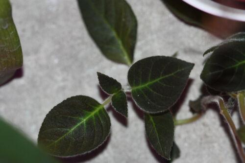 Gesneriaceae sp Equador