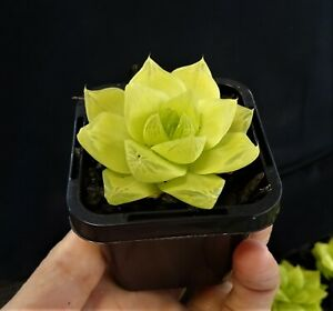Haworthia-cymbiformis-Xantha-Gold-Succulent-x-1