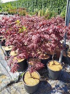 acero giapponese rosso di 3 anni pianta ornamentale per giardino