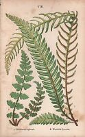 1875 Ca ANTIQUE BOTANICAL PRINT-FERNS-BLECHNUM SPICANT,WOODSIA ILVENSIS