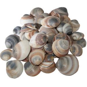 Conjunto-de-50-conchas-de-Israel-natural-hecho-para-acuario-y-Marina-Decoracion-del-hogar