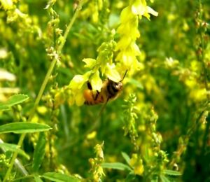 Yellow-Sweet-Blossom-Clover-Seed-Bee-Wildlife-Forage-Seeds-oz-to-8oz