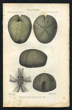 OURSIN ou ECHINOIDEA Hemipneustes pyrenaicus. Gravure originale 1875