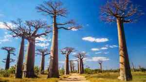 Rare-Exotic-African-Baobab-Tree-Bonsai-Fresh-Seeds-Shipped-From-Canada