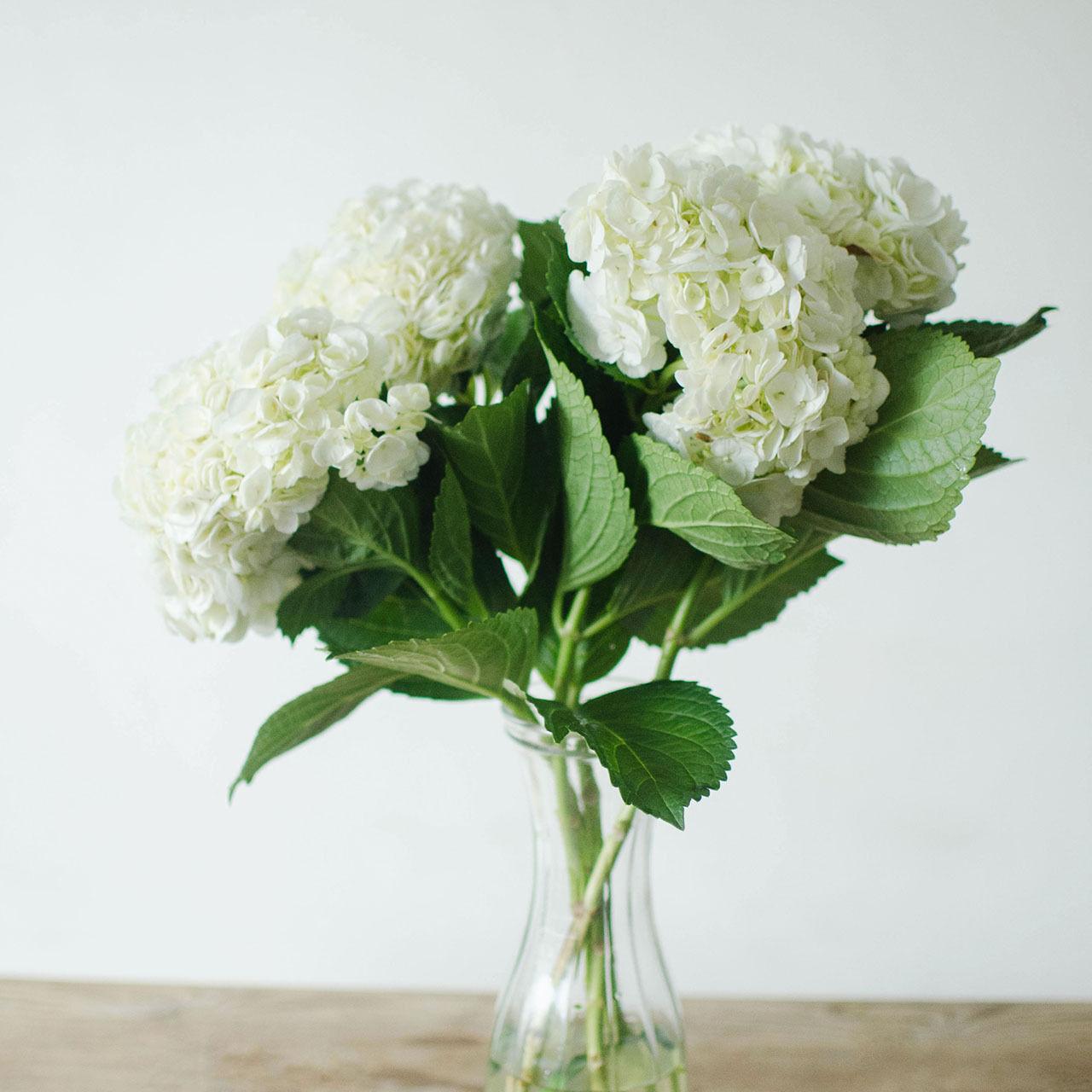 Hydrangeas - Weiß - 40 Stems