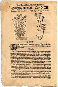 Arznei-Pflanzen-Kraeuter-Blumen-Mattioli-16-Jahrhundert