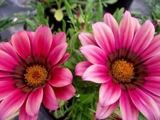 30+ GAZANIA KISS ROSE FLOWER SEEDS / DROUGHT-TOLERANT / RESEEDING ANNUAL