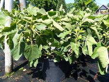 Feigenbaum Ø 40-50 cm Höhe 60-70 cm Obstbaum winterhart Ficus Carica