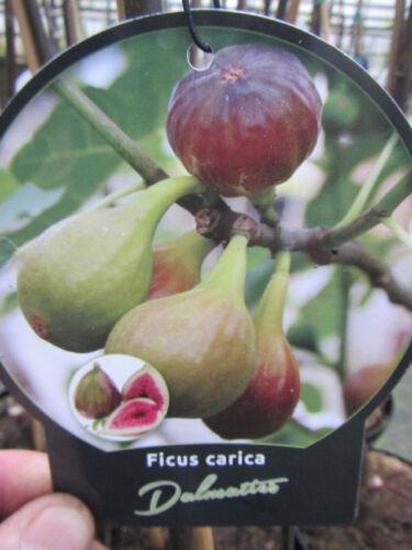 Frucht Feige 18°C Pflanze 60-80cm Feigenbaum Ficus carica /'Dalmatie/'