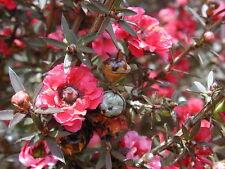 500++ Samen Leptospermum scoparium - Südseemyrte , Neuseelandmyrte , Manuka