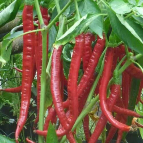 100 Super Giant Long Chilli Organic Chil