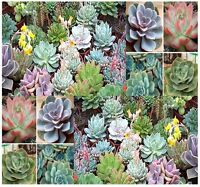 Desert Rose Mix - Echeveria Species Mix - Indoor House Plants - Succulent Seeds