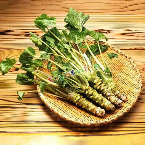 20 semi della vera giapponese Wasabi HON