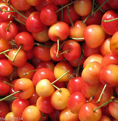 50 Fresh RAINIER Sweet Yellow Red Golden Cherry Plant Tree SEEDS 7/2017