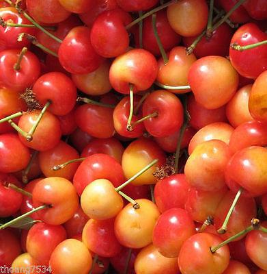 50 Fresh RAINIER Sweet Yellow Red Golden Cherry Plant Tree SEEDS 7/2017