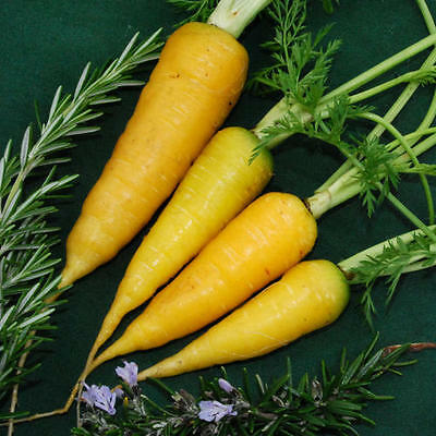 VEGETABLE  CARROT  SOLAR YELLOW  3000 FINEST SEEDS