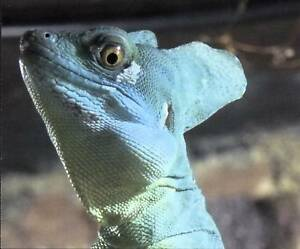 Foto-Ansichtskarte-Stirnlappenbasilisk-Basiliscus