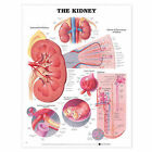 The Kidney Anatomical Chart by Anatomical Chart Co. (Fold-out book or chart, 2000)