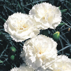100-WHITE-CARNATION-Caryophyllus-Grenadin-Flower-Seeds-FRAGRANT-PERENNIAL-Garden