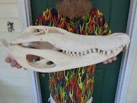 (g-lot-85) Museum Quality 23-3/4 Gator Alligator Aligator Skull Head Teeth Wow