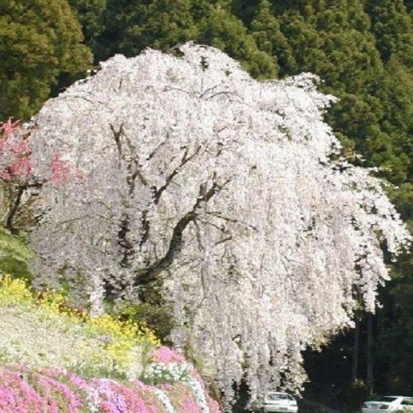 20 Snow Fountain Weeping Cherry Seeds Diy Home Garden Dwarf Tree