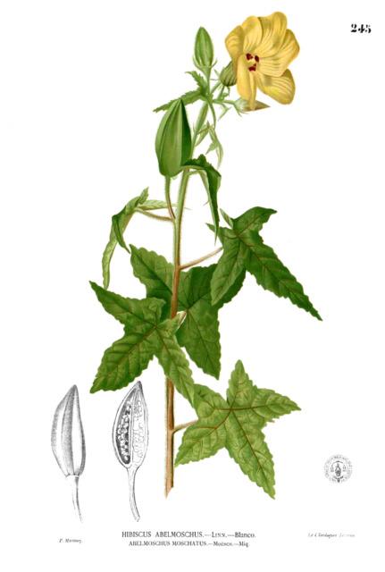 min 20 Samen  Bisameibisch, Bisamstrauch (Abelmoschus moschatus)