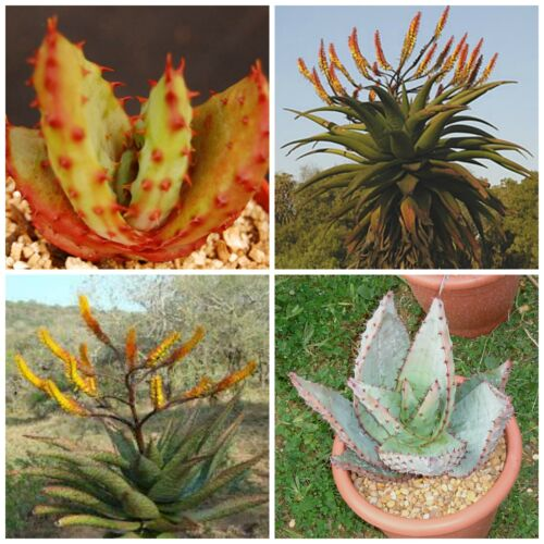 cacti 10 seeds of Aloe spectabilis succulents seed C succulents