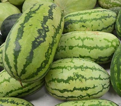 40 Watermelon Seeds 'Congo' - Non-GMO Heirloom  Large fruit,30 to 50 lbs !
