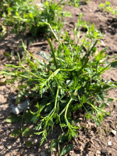 Gewürzdolde Sison amomum Würzsilie Muskatkraut alte Nutzpflanze Stone Parsley
