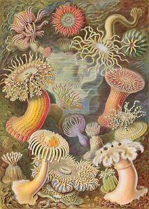 Ernst-Haeckel-Actinia-Ocean-Sea-Anemones-Painting-8x10-Real-Canvas-Art-Print