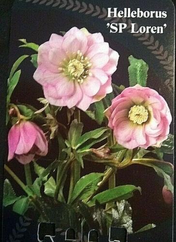 1.5L Pot. A interesting evergreen perennial hellebore Helleborus /'Loren/'
