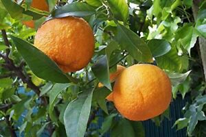 Winterharter-Orangenbaum-10-Samen-039-039-Poncitrus-trifoliata-039-039-Bitterorange