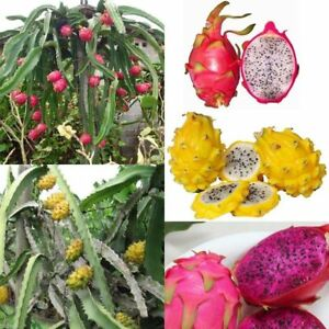 3kinds-Mix-Pitaya-Dragon-Fruit-Yellow-Seed-Fragrant-Cactus-Rare-Exotic-Seed