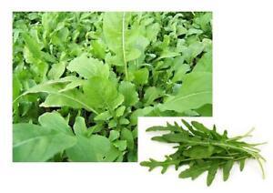 Roquette-salade-Lot-de-graines-Jardin-Seed-Potager-legume