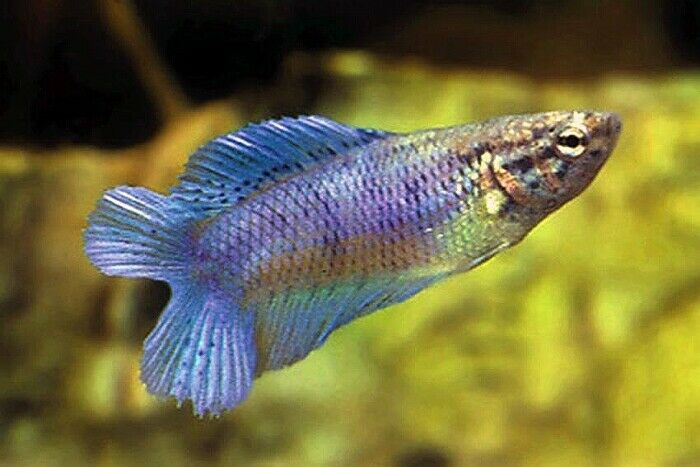 10 (ten) Assorted Betta Double Tail Females (Siamese Fighting Fish)