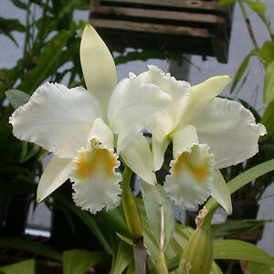 Rare-orchid-species-seedling-plant-Cattleya-mossiae-alba