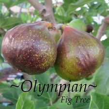 ~OLYMPIAN~ FIG Tree Cold Hardy Ficus Carica Sweet YUMMY Live small Potted Plant