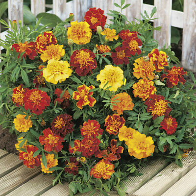 Marigold Bonita Mixed 150 Seeds Compact Flower Garden Bed