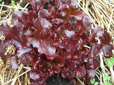 Salad Bowl ( Ruby) Leaf Lettuce ,ORGANIC Non GMO SEED (1000 Seeds) Fresh salad