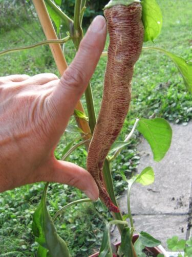 Elefant rot abreifend Samen Gemüse