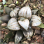 Haworthia-Succulent-plants-potted-Plants-Home-Garden-Bonsai-Garden-Decor thumbnail 4