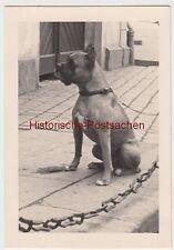 (F7098) Orig. Foto Hund, Deutscher Boxer in Weimar 1938
